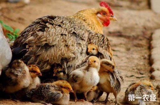 鸡坏死性肠炎都有哪些症状?要怎么治?