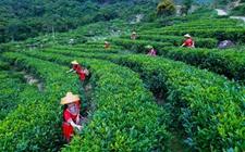 贵州湄潭县:茶叶成村民致富脱贫新亮点
