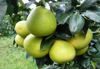 蜜柚得了黑星病有什么症状?蜜柚黑星病的症状与防治方法