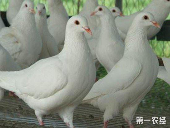 冬天养鸽要注意什么 冬季鸽子养殖的注意事项