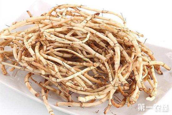 鱼腥草,也叫狗心草、折耳根,是我国一种非常传统的中药材,不少地区都会将鱼腥草制成泡菜食用。不过由于鱼腥草的味道比较奇怪,喜欢的人多,接受不了的人也多,不过市场需求还是很客观的。近年来我国栽培鱼腥草的面积越来越广泛,不过不少人在种植后常常因为管理不当导致收成不佳。那么鱼腥草要怎么管理呢?接下来小编就带大家一起来了解一下鱼腥草的种植管理技术。      1、中耕除草   在鱼腥草播种出苗后要及时封行,为鱼腥草提供良好的生长环境。根据土壤情况及幼苗的生长及时中耕除草,中耕是为了提高土壤的通风透气,促进鱼腥草根部的呼吸,增强营养吸收能力。除草就为了减少杂草的竞争性,防止与鱼腥草争夺养分水分,影响鱼腥草的生长发育。幼苗时期的中耕除草是非常重要的,因为直接关系到鱼腥草后期的生长与产量。   2、水分管理   鱼腥草是一种喜湿怕干的作物,在鱼腥草的生育期中要保持土壤处在湿润状态,土壤含水量不可低于75%。在播种或者是扦插后及时浇水,促进鱼腥草的生根发芽。特别是在夏季等高温干旱的天气下,水分绝不可过少。浇水时注意方法,尽量使用小水滴灌的方式,防止水分过大引发土壤板结,不利于鱼腥草的生长发育。浇水时注意水质,不可浇灌污染严重、变质的水,否则将会引发各种病虫害。   3、适时追肥   在鱼腥草播种之前要将底肥施足,因为鱼腥草比较喜肥的,如果底肥充足,那么在鱼腥草生长过程中可以少追甚至是不追肥。不过在清明节前后是鱼腥草生长发育的旺盛期,这个时期为了保证鱼腥草有充足的营养,要适当追肥,肥料可以使用腐熟的农家肥,控制好用量,一般在1500kg/亩。且为了提高鱼腥草的产量及品质,可以在适当的追施磷酸二氢钾等叶面肥。在鱼腥草采收的前一个月左右时,停止追肥,防止浪费肥料。   4、摘心摘蕾   定时观察鱼腥草生长情况,防止鱼腥草生长过密,出现徒长旺长等现象。发现有这种情况时,要及时将生长过旺过密的枝条摘除,然后将植株做好摘心工作,抑制植株侧枝的生长。让营养集中在根茎部位,促进根茎部位的营养积累与膨大,增强质量。并且如果种植目的不是花朵,那么在花蕾初期就应该将其摘除,减少花朵的营养消耗,防止两种生长方式并存争抢养分。     以上就是鱼腥草的种植管理技术,为了更有利鱼腥草的生长,在出苗后要及时封行,并根据情况进行中耕除草。平时加强水肥管理,提供干净充足的水源,适当的进行摘心摘蕾,注意防治病虫害。想了解更多种植技术,请关注第一农经网。