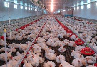 <b>养鸡场的水线饮水设备要怎么清洗和消毒?</b>