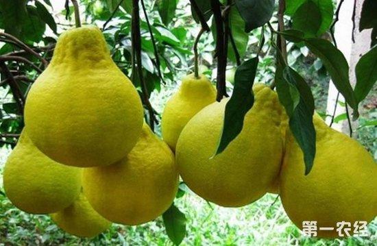 如何提高沙田柚的产量?沙田柚的高产种植技术