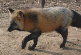 狐狸繁殖率低是为什么?狐狸繁殖率低的原因