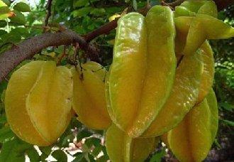 杨桃种植常见的病虫害有哪些?以下7种病害需注意