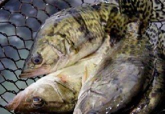 桂鱼一斤多少钱?