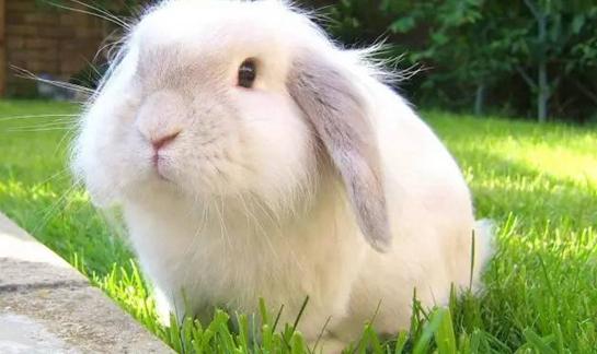 垂耳兔的选购技巧和养殖技术