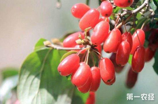 山茱萸要怎么种?山茱萸的种植技术