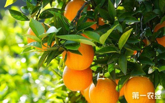 脐橙要怎么种?脐橙的种植技术