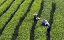 <b>湖南湘西:发展茶叶产业兴 山乡巨变气象新</b>