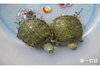 <b>巴西龟常见的疾病有哪些?以下十种疾病你需了解</b>