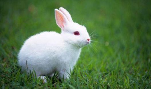 家兔什么时候配种好?家兔的配种年龄