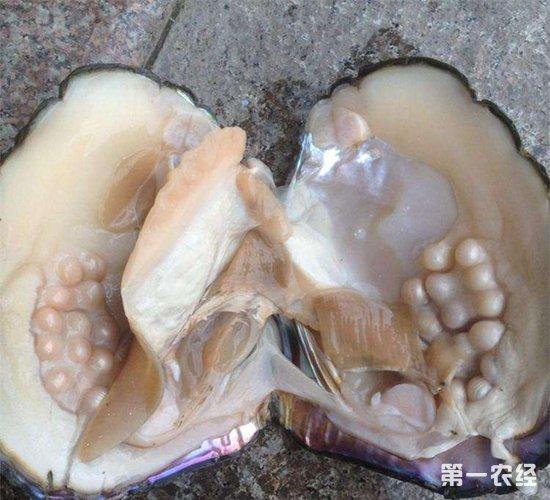 育珠河蚌要怎么养?育珠河蚌的养殖技术