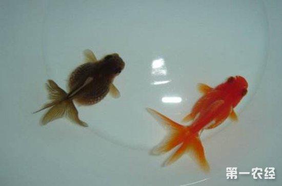养金鱼要注意什么?该如何换水?
