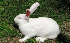 <b>兔子拉稀怎么办?兔子拉稀的解决办法</b>
