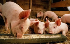<b>云南:疑似非洲猪瘟生猪已在昆无公害处理</b>