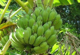 香蕉受冻怎么办?香蕉受冻后的栽培管理