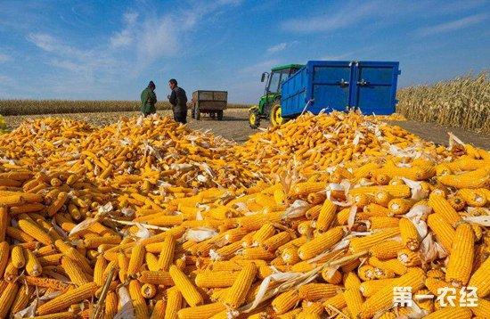 市场行情背后:为什么黑龙江玉米价格一直是低洼地?