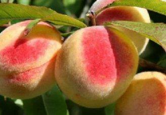 桃树要怎么修剪?桃树的修剪技术