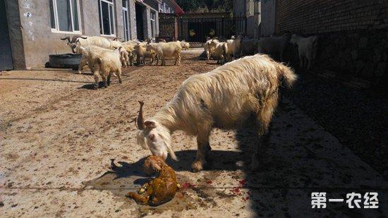 母羊生产的注意事项