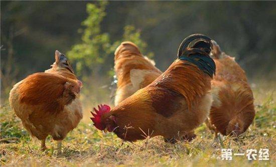 圣农出资设立并购基金,剑指肉鸡产业