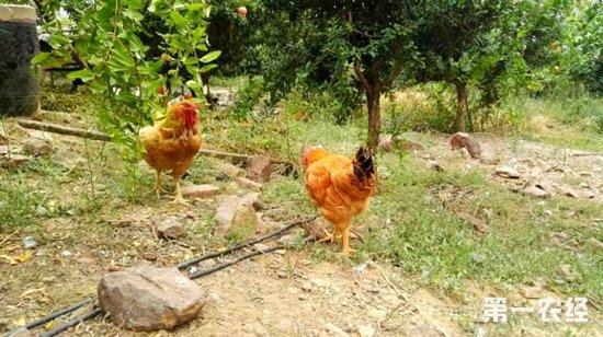 养鸡业发展关键:无抗养殖、环保禁养和饲料成本