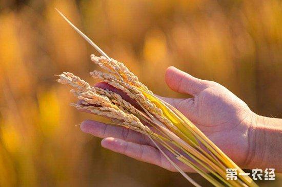 """袁隆平团队在迪拜的""""海水稻""""试种项目取得成功"""