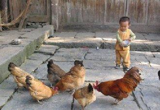 <b>养鸡秘诀:食醋和酵母在养鸡中的作用</b>