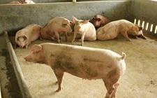 小型猪场容易存在哪些问题?小型猪场存在的问题