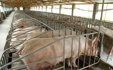 <b>猪胀气该怎么办?猪胀气的解决方法</b>