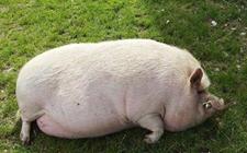 <b>母猪产后厌食的原因有哪些?要怎么进行防治呢?</b>