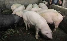 <b>怎样治疗猪高热病?猪高热病的治疗方法</b>