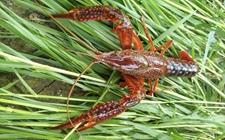 小龙虾养殖需要哪些条件?养殖小龙虾的条件