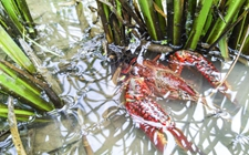 <b>怎样在稻田中养殖小龙虾?稻田小龙虾养殖技术</b>
