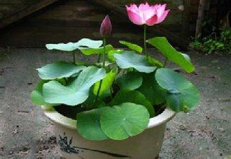 碗莲要怎么种?碗莲的种植方法