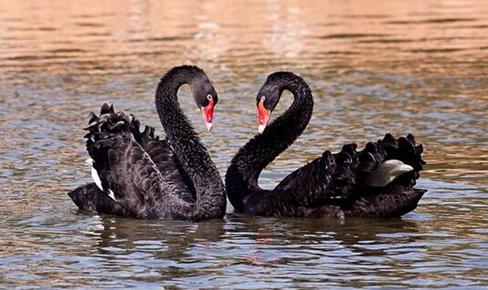 黑天鹅要怎么养?黑天鹅的养殖技术