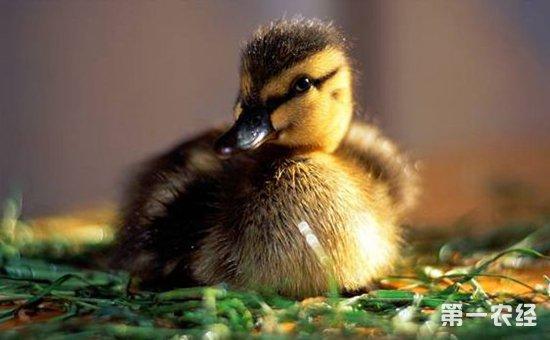 雏鸭怎么分辨公母?雏鸭分辨性别的办法