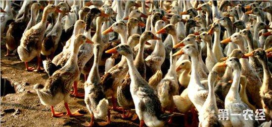 发酵床养鸭的制作方法以及注意事项