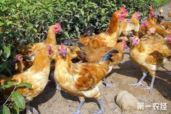 2018-11-15养鸡市场行情如何?今日养鸡行情概述