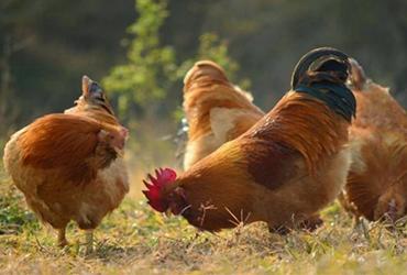 散养鸡要怎么过冬?散养鸡的冬季管理技术