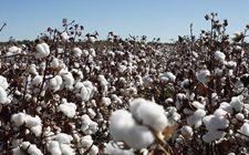 新疆省沙湾县:棉花机采率超过90%