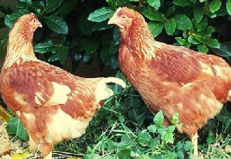 <b>2018年11月12日养鸡市场行情如何?今日养鸡行情概述</b>