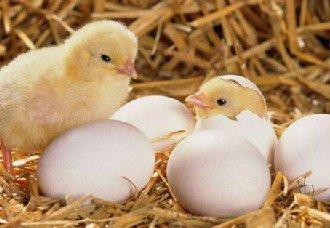孵化器停电怎么办?孵蛋器停电的应对方法