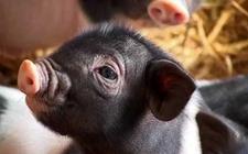 <b>猪的寄生虫病有哪些?猪寄生虫病防治大全</b>