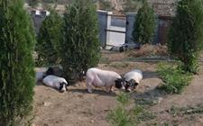 怎样建设香猪养殖场?香猪养殖场建设方案