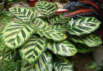 孔雀竹芋要怎么养?孔雀竹芋的养殖方法介绍
