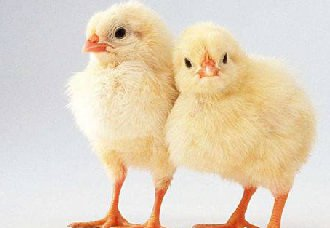 2018年11月13日养鸡市场行情如何?今日养鸡行情概述