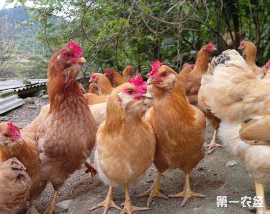 福建武平地方特色品种--象洞鸡