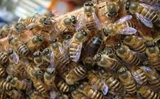 <b>蜜蜂得了蜂螨病怎么办?蜂螨的防治方法</b>