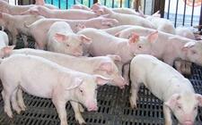 <b>猪得了传染性肠胃炎怎么办?猪传染性胃肠炎防治方法</b>